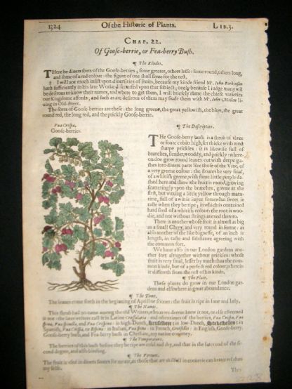 Gerards Herbal 1633 Hand Col Botanical Print. Gooseberry Fruit, Yarrow | Albion Prints